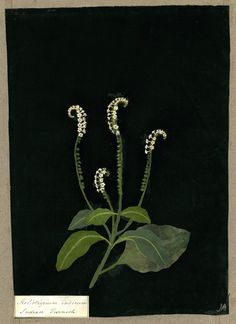 Heliotropium Indicum, from an album (Vol.X, 35); Indian Turnsole. 1781 Collage of coloured papers, with bodycolour and watercolour, on black ink background, Mary Delany (1700-1788)