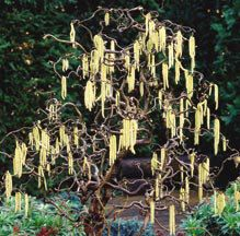 Corylus: Interesting. Has torturous branches with Pendant yellow catkins in the branchs in spring