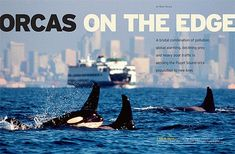 Orcas on the Edge - Magazine Layout - Orcas in Puget Sound