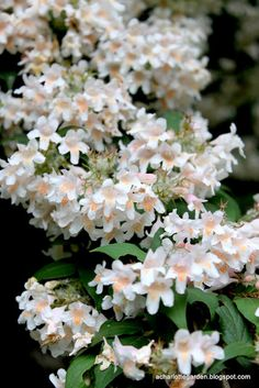 Beauty Bush - zones 4-9; deciduous; full sun; grows 8-10'; sweetly fragrant light pink/white blooms