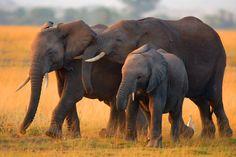 elephant family - Sök på Google