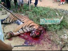 Mengenaskan, Harimau Sumatera di Matikan Warga - intaikasus.com