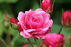 Morden Ruby Canadian Parkland rose bloom