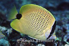 Endemic Hawaiian Fishes, Page 1