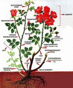 Побеги шиповника на розе - Садоводка Plantar, Farm Gardens, Garden Projects, Garden Landscaping, Plant Leaves, Home And Garden, Herbs, Backyard, Landscape