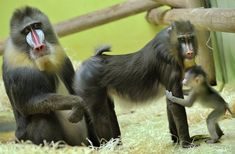 """16-year-old male mandrill """"Pablo"""", 10-year-old """"Zora"""" and their four-week-old baby play in their enclosure on March 20, 2009 at Munich's zoo Tierpark Hellabrunn. (JOERG KOCH/AFP/Getty Images) #"""