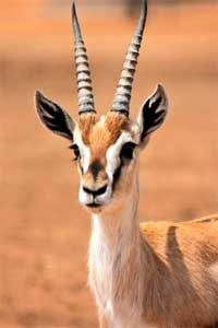 Gazelle - info and games