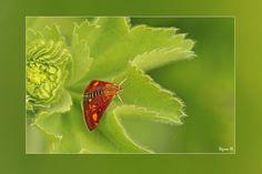 Muntvlindertje gefotografeerd door Regina in Almere in eigentuin. Het is met een spanwijdte van 10 tot 15 millimeter een zeer klein vlindertje. De waardplant is zoals de naam al doet vermoeden munt. De vliegtijd is van eind april tot eind september. Het muntvlindertje vliegt in twee overlappende generaties per jaar van april tot september. De rups is donkergroen met zwarte vlekken en leeft op wild kattenkruid.