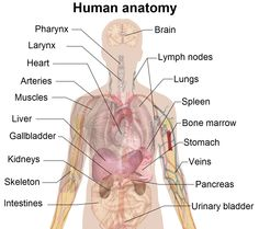 free anatomy pictures | Human Body Organs