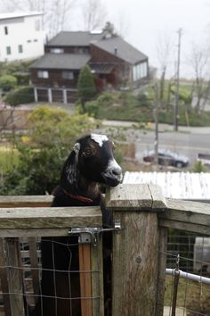 Raising Goats in Your Backyard—Is It Right for You? I have to read this! I think this is going to be quite funny Raising Farm Animals, Raising Goats, Keeping Goats, Goat Barn, Future Farms, Goat Farming, Baby Goats, Hobby Farms, Urban Farming