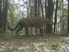This is a cougar, photograph taken in Marquette County (courtesy of Michigan Wildlife Conservancy). Cool, yet being a trail runner/hiker, a little scary for me, though I live quite far from Marquette.