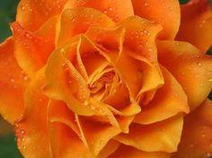 orange rose = passion