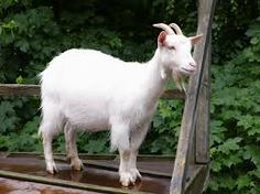 Quotes About Goats Fascinating 14 Goat Quotes For Every Occasion  Pinterest  Goats Community And .