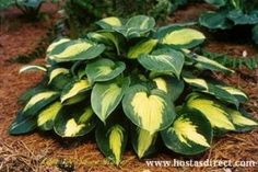 Lakeside Shoremaster Hosta  A beautiful, fast growing hosta. Leaves emerge blue-green in the spring and then develop rich yellow centers. Leaves are light green with a 2.5 inch wide, flat, intensely blue-green margin and a heavy substance.
