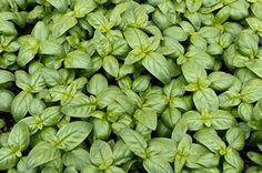Cómo Cultivar Albahaca. Propiedades y Cuidados de la Albahaca