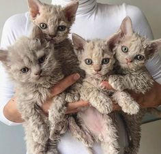 These cute kittens will brighten your day. Cats are wonderful friends. Curly Haired Cat, Curly Cat, Cute Cats And Kittens, I Love Cats, Crazy Cats, Kittens Cutest Baby, Ragdoll Kittens, Bengal Cats, Kitty Cats