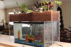 部屋に欲しい! 魚と植物の小さな生態系「アクアポニックス」