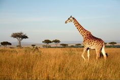 #Giraffes are the tallest mammals on Earth. Their legs alone are taller than many humansabout 6 feet. They can run as fast as 35 miles an hour over short distances or cruise at 10 mph over longer distances.#PhotosNotPasswords