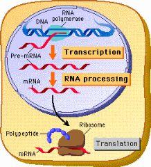 eukaryotic transcriptiob