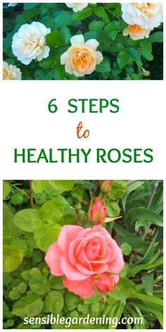 6 Steps to Healthy Roses with Sensible Gardening. How to grow roses and have healthy roses. Gardening For Beginners, Gardening Tips, Organic Gardening, Flower Gardening, Gardening Courses, Indoor Gardening, Organic Plants, Gardening Gloves, Gardening Supplies