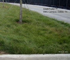 Habiturf great for Central Texas growing