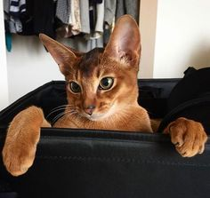 The Abyssinian is at the top of the list for pet-friendly cats. The active and social Abyssinian is a perfect choice for families with children and cat-friendly dogs.