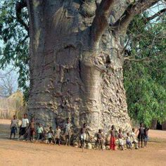 2000 years old tree in South Africa known as tree of life (Baobab) Photo: ツ Amazing Facts & Nature ツ Beautiful World, Beautiful Places, Baobab Tree, Unique Trees, Old Trees, Nature Tree, Tree Forest, Walk In The Woods, Tree Of Life
