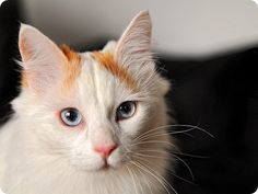"""Turkish Van is also known as the """"swimming cat"""" and should not be confused with the Turkish Angora. Check our guide and find Turkish Van Kittens for Sale! Turkish Van Cats, Turkish Angora Cat, Angora Cats, I Love Cats, Cool Cats, Baby Cheetahs, Three Cats, Kitten For Sale, Cat Photography"""