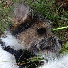 heididahlsveen:  #atsjoo resting in the heat #dog #hund #puppy #valp