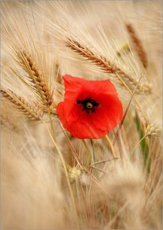 Symbols of the Goddess Ceres/ Demeter Red poppy in wheat field