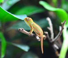 Jeweled Chameleon - Furcifer campani - Captive Bred - Female   Jeweled Chameleon name Miss America as she was the first Jeweled Chameleon to be hatched in captivity in the United States by Canvas Chameleons