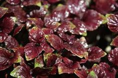 Red shiso - Google Search
