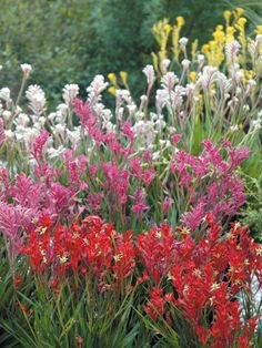 Good height and feature. Kangaroo paws, Australian native, perennial in warm zones 10 & 11 Australian Wildflowers, Australian Native Flowers, Australian Plants, Abc Garden, Dream Garden, Australian Native Garden, Kangaroo Paw, Native Australians, Coastal Gardens