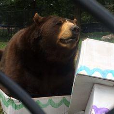 "#blt #birthday #bash fun! Baloo's version of ""if I fits, I sits"" in their box #cake #enrichment was pretty cute! #IfIFitsISits #bear #bearliontiger #noahsark @noahsarkclub"