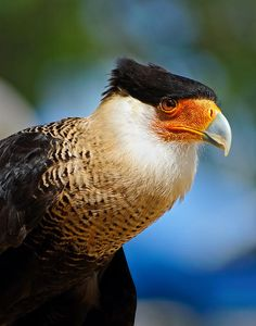 Crested Caracara from Florida Birds Collection by artist Dawn Currie. Extraordinary close-up portrait of a Crested Caracara taken in Sebastian Florida. The light brings out the detail and color of this magnificent bird's face and feathers.  #birdart #floridabirds