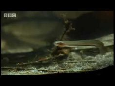 The Candiru fish, or Toothpick fish, is a natural parasite commonly found living inside Amazonian Catfish.    The Candiru is the star of an urban legend — which turns out to be true — of a man who was urinating in the Amazon River when a 6-inch Candiru swam up his urine stream and lodged into his urethra. The fish remained there for days, until a surgeon was able to remove it. The horrific incident was reported back in 1997.