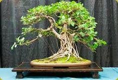 Il Ficus Retusa è il bonsai da interno per antonomasia e si adatta a quasi tutte le condizioni ambientali. Bonsai Ficus, Bonsai Garden, Bonsai Styles, Beautiful, Gardening, Murcia, Hobby, Terrariums, Miniature