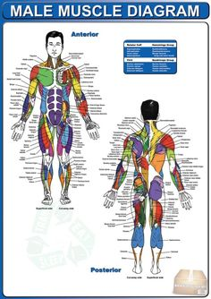 Male Muscle Diagram - Man Fitness Plan Workout Training Sixpack