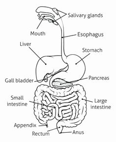Digestive System @Nolene Niehaus maybe a good outline for