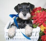 Miniature Schnauzer Dog and Puppy Dog Breeders Website Listings at http://PuppySites.Com