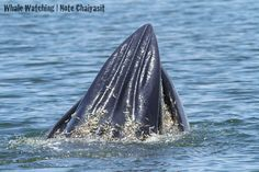 The Bryde's whale is a baleen whale, more specifically a rorqual belonging to the same group as blue whales and humpback whales