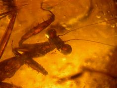 amber | Rare Praying Mantis (Mantodea) and other insects in Fossil Amber