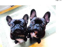 Olivia & Oscar is an adoptable French Bulldog Dog in West Chester, PA. *THEY MUST BE THE ONLY DOGS IN THE HOUSEHOLD. PLEASE DO NOT APPLY IF YOU HAVE OTHER PETS. This darling pair of purebred French Bu...