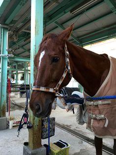 Hound,dalle 14:00 al 14 dicembre 2015 lunedì per il corso II con istruttore Ozaki e gli altri 4 cavalli; Grants, Anderico, Sato, Orange Pekoe.