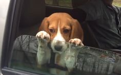 Sweet Beagle Puppy Doesn't Want the Fun of Riding in the Car to End (VIDEO)