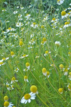 Chamomile--Teas & extracts used as anti-inflammatory, GI antispasmodic, and as a sedative; antiallergic activity; some individuals have experienced contact dermatitis, anaphylaxis; shortened healing time of cutaneous burns in guinea pigs