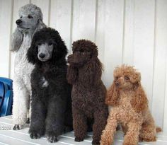 Poodles in all colors and sizes