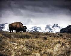 A lone #buffalo grazes under dramatic skies in the Lamar Valley of #Yellowstone National Park. #MyCanonStory Photo Credit: @coltonstifflerphotography Camera: Canon EOS 5D Mark III Lens: #Canon EF 70-200mm f/2.8L IS USM Aperture: f/4.5 ISO: 320 Shutter Speed: 1/1000 sec Focal Length: 145mm via Canon on Instagram - #photographer #photography #photo #instapic #instagram #photofreak #photolover #nikon #canon #leica #hasselblad #polaroid #shutterbug #camera #dslr #visualarts #inspiration…