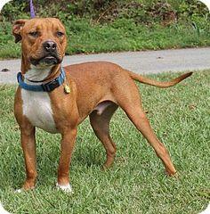 Prattville, AL - Pit Bull Terrier. Meet Nemo 21299, a dog for adoption. http://www.adoptapet.com/pet/11688957-prattville-alabama-pit-bull-terrier