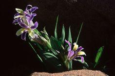 Babiana tanquana flowering in winter http://www.biodiversityexplorer.org/plants/iridaceae/images/040407CPJ10ed_658w.jpg